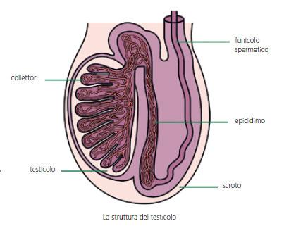 prostata dietro la base del pene